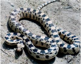 gopher snake pituophis melanoleucus deserticola