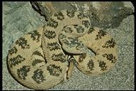 rattlesnake Crotalus_viridis_lutosus